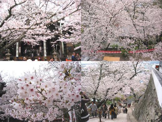 紀三井寺也是櫻滿開!!