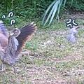 被白頭翁趕的黑冠麻鷺