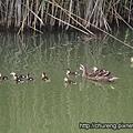 梅花湖小鴨-2