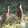 110227-植物園-黑冠麻鷺