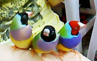 三鳥牌實體鳥XD