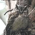 年夜-領角鴞
