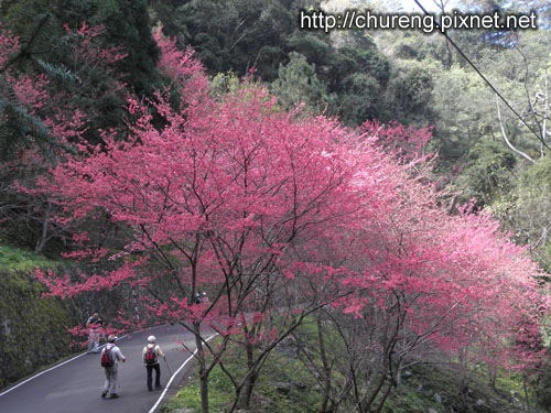 初一-八仙山櫻花