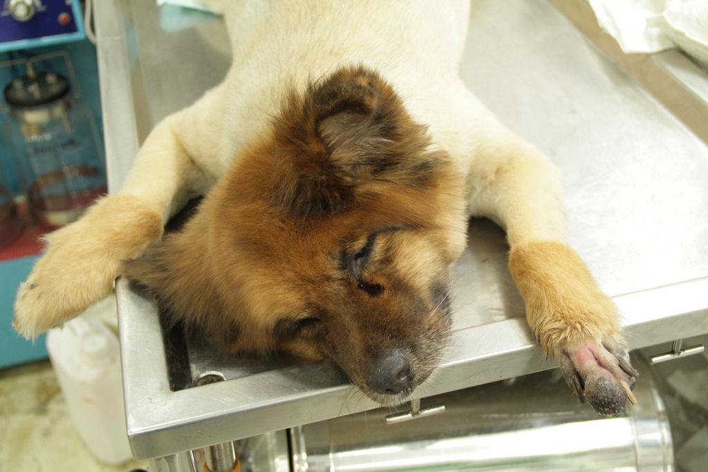 黑色素瘤狗狗