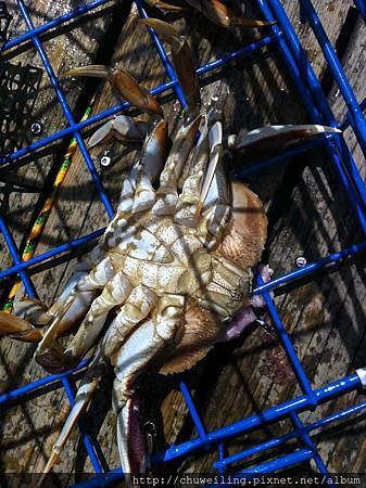 蟹籠裡的大螃蟹