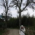 司馬庫斯巨木群林道-入口櫟樹