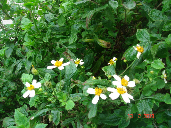 冬天依然盛開的小野菊