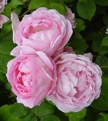 rose_centifolia.jpg