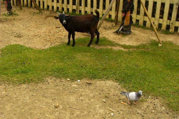 魚目混珠~原來鴿子搶了羊的食物