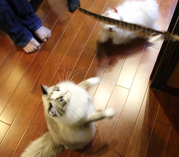 Bonbon終於肯站起來玩逗貓棒了~