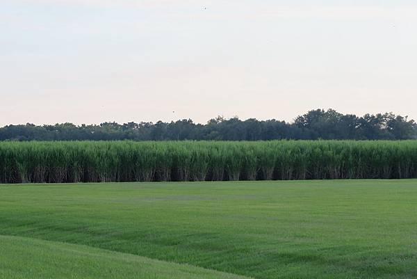 美國南方甘蔗田