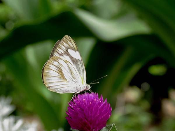 八重山粉蝶(雌)