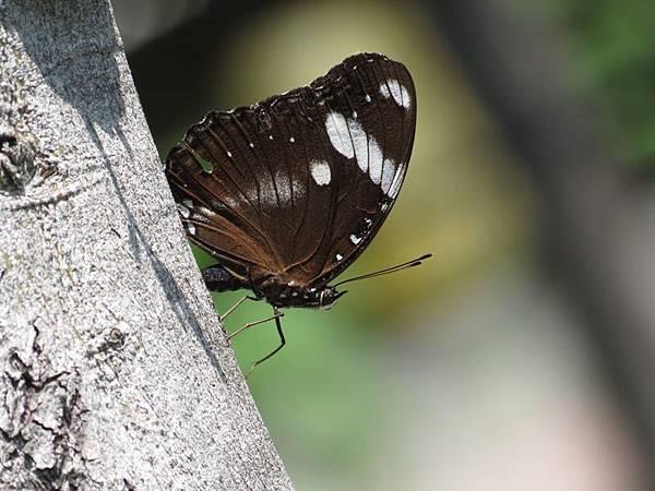琉球紫蛺蝶