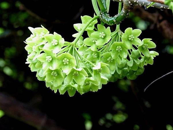 華他卡藤的花