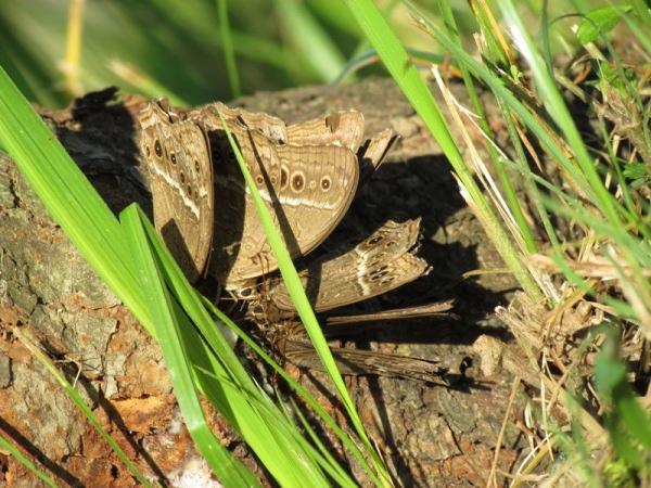永澤黃斑蔭蝶