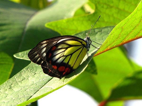 紅紋粉蝶 另稱白豔粉蝶