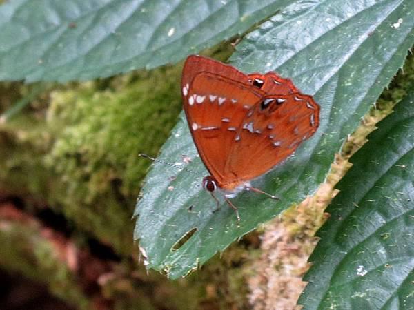 阿里山小灰蛺蝶