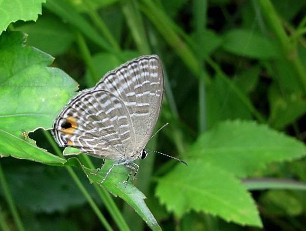 白波紋小灰蝶(雌)