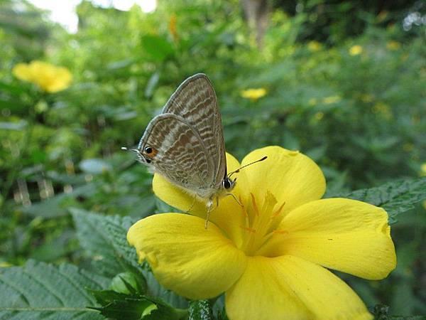 波紋小灰蝶