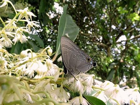 恆春小灰蝶