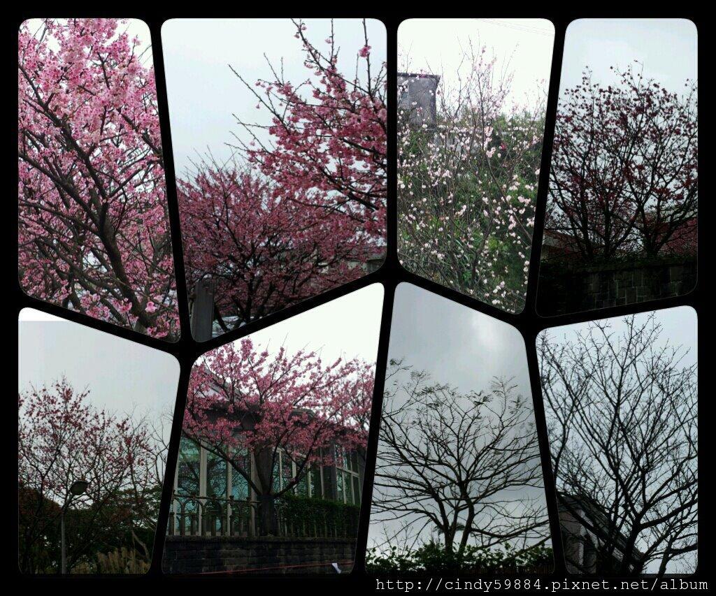 平菁街42巷之櫻花盛開.jpg