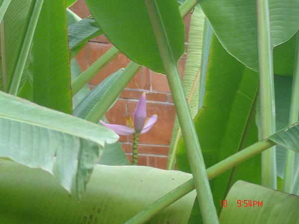 某某蕉之花