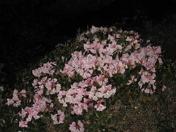 黑夜裡的粉紅杜鵑
