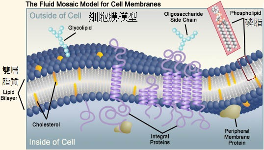 細胞膜模型
