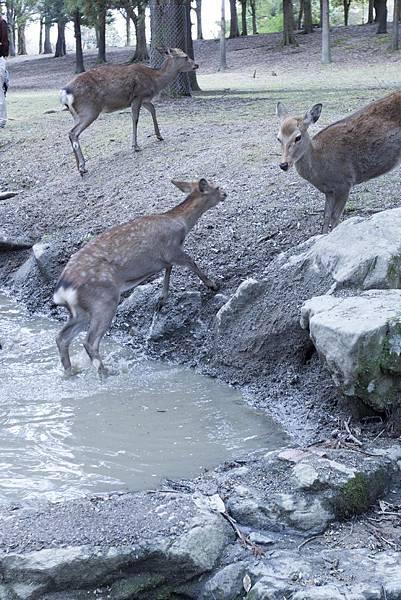 奈良2015玄蕎麥麵及公園鹿群 - 20