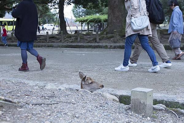 奈良2015玄蕎麥麵及公園鹿群 - 18