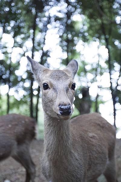 奈良2015玄蕎麥麵及公園鹿群 - 14