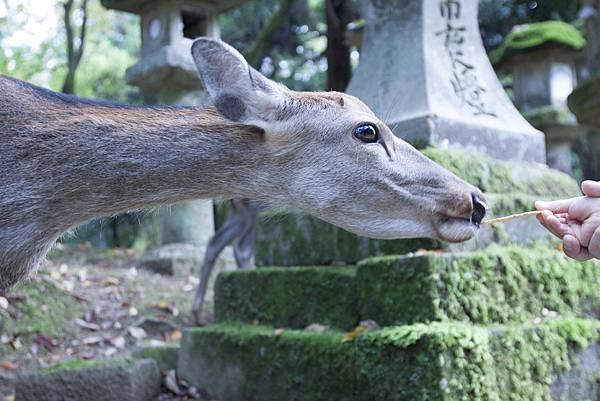 奈良2015玄蕎麥麵及公園鹿群 - 11