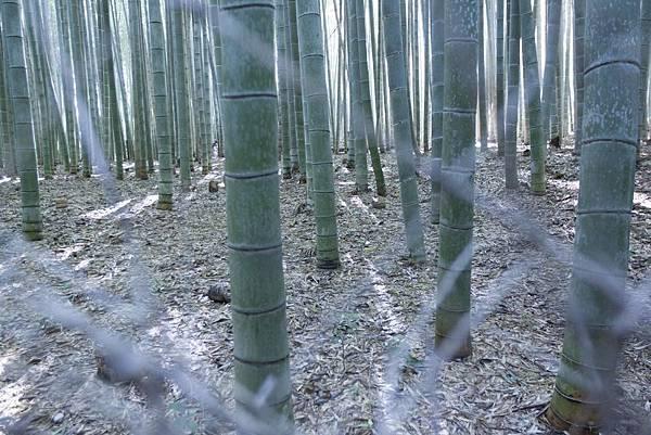 嵐山竹林 - 2