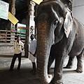 印度神廟都有大象值班,給5盧比大象會代神賜福給信眾