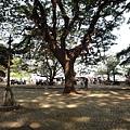 大樹~ 科欽堡地區有幾株樹齡很老的樹,樹幹粗到需十幾人合抱! 而且常有老樹枝掉落砸傷人意外