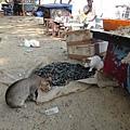 走去中國漁網途中,岸邊的貓咪守著貝