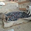 老闆丟了幾條魚餵貓