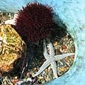 海膽與另一個海星
