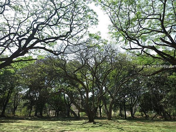 palace的樹