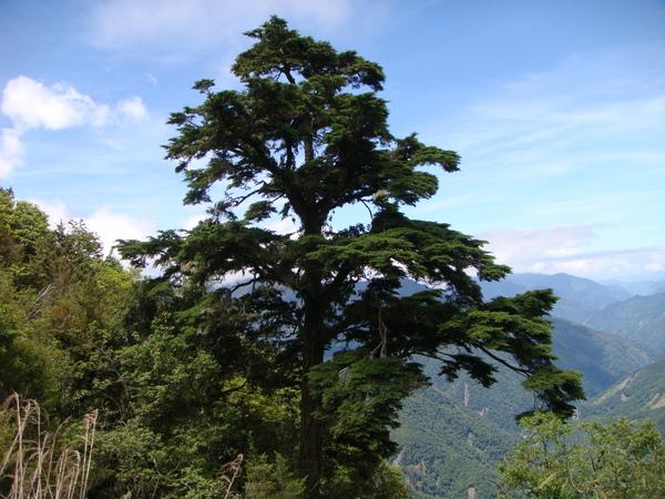 很大的樹~~超大棵