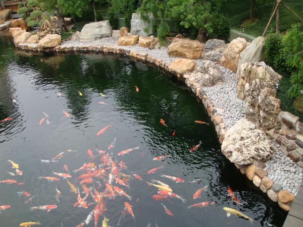 池裡有很多肥美的錦鯉