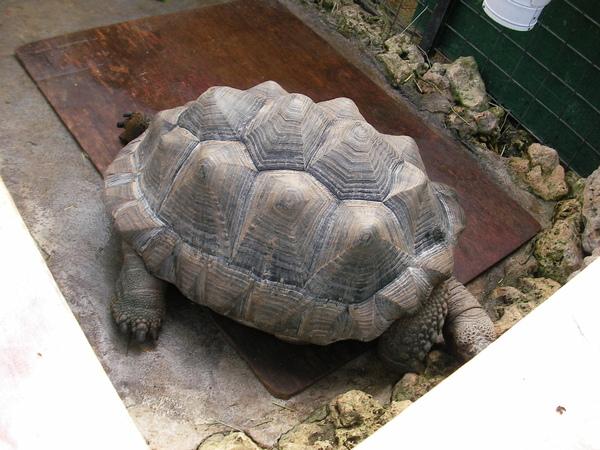 非常大的陸龜..在睡覺