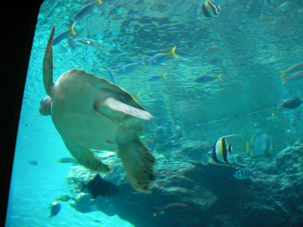 十分大的海龜