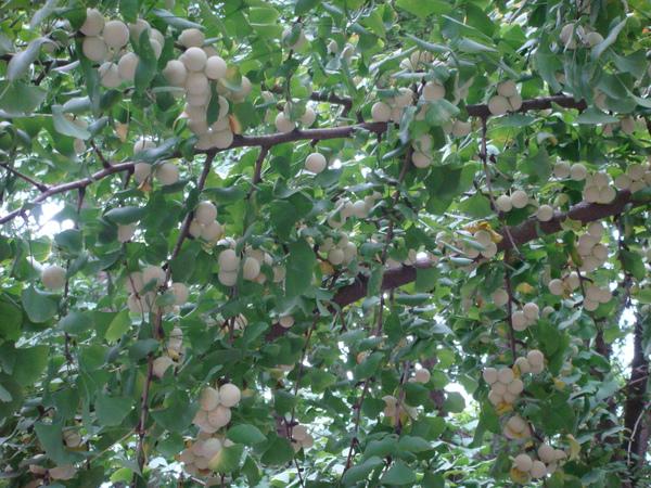 銀杏樹,結滿果子,遠遠看會以為是龍眼...