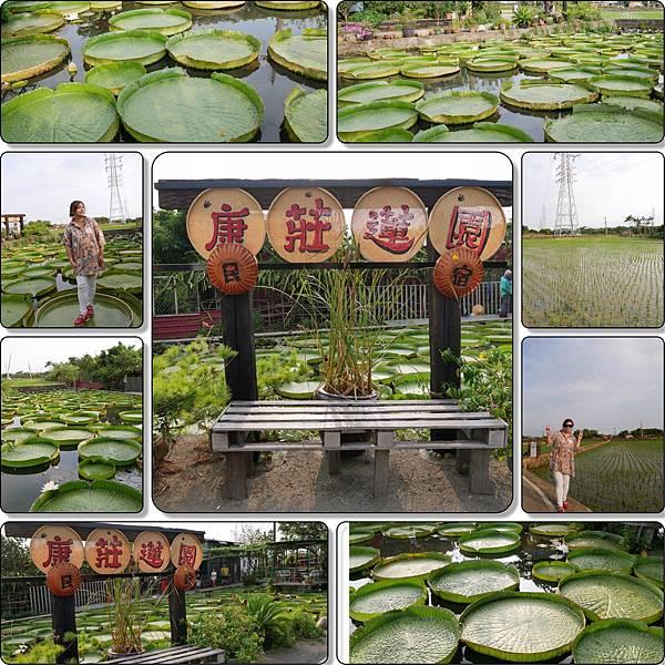 康莊農園(大王蓮)001.JPG