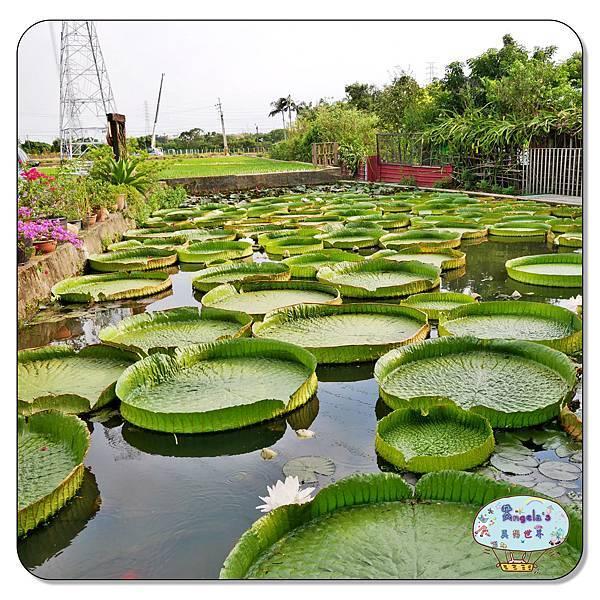 康莊農園(大王蓮)020.jpg
