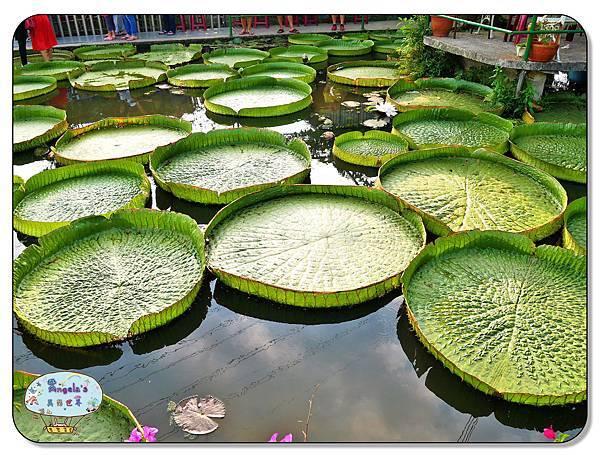 康莊農園(大王蓮)021.jpg