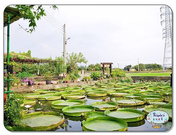 康莊農園(大王蓮)022.jpg