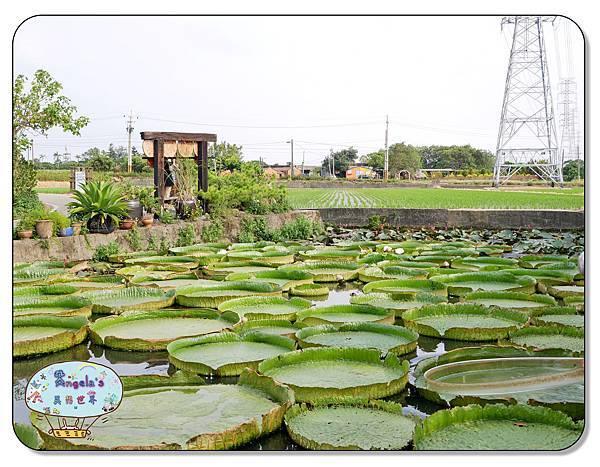 康莊農園(大王蓮)027.jpg