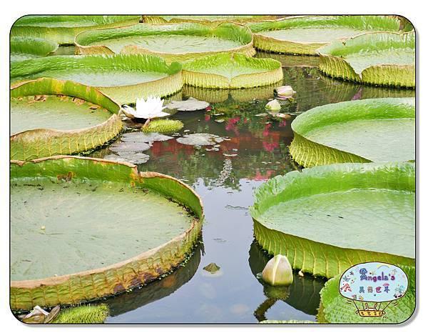 康莊農園(大王蓮)028.jpg
